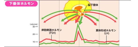 ホルモン 黄体 作用 形成